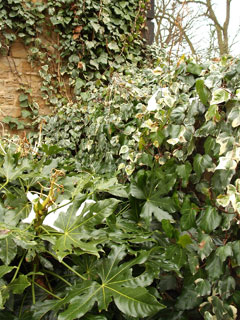 Ivy on the stable block
