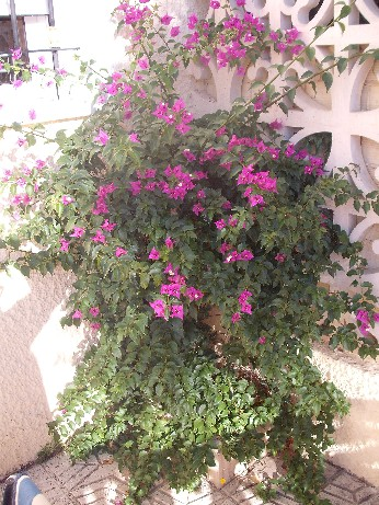 Spain - bouganvillia 1