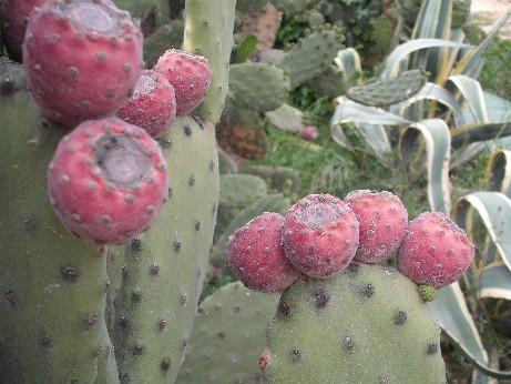 Spain cactus 2
