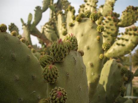 Spain cactus1