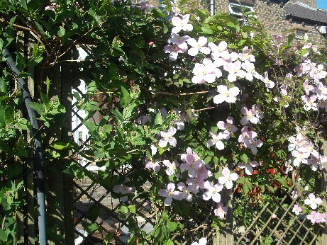 clematis - may