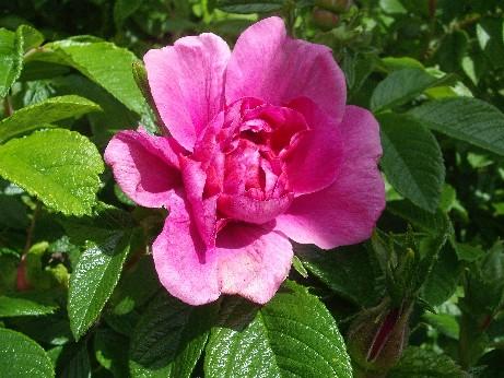 Hebden flower