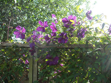 clematis - july