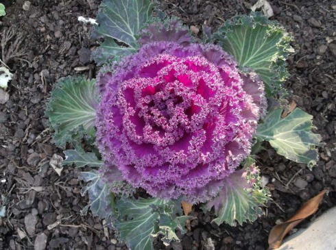 Spain Feb 2012 cabbage 2