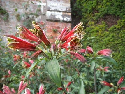 Powis - flower 1