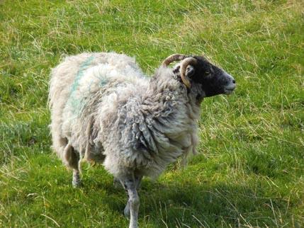 Butterley 3 - sheep