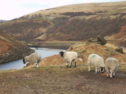 Feb walk sheep