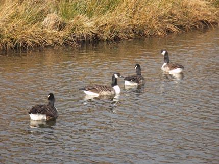 Slawit walk - geese