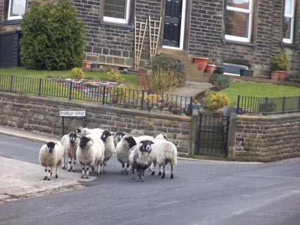 Slawit walk - sheep