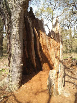 Sherwood dying tree 2