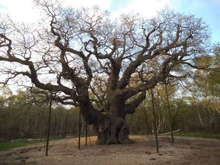 Sherwood Major Oak