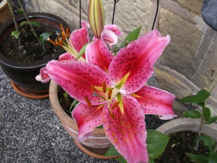 Houseaversary - lily