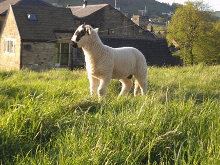 Houseaversary - sheep 2