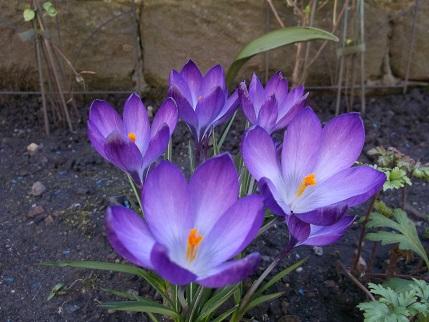 Spring walk March crocus