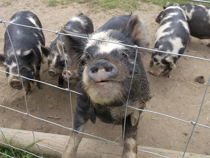 NT Holiday June 2014 - garden KL 8 pigs
