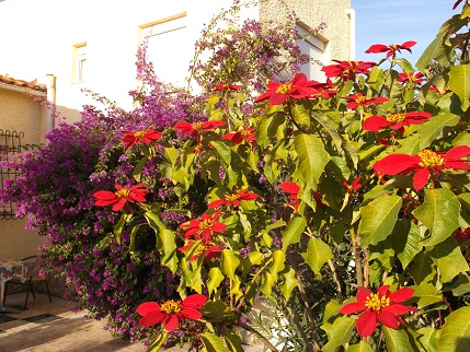 Spain New Year Poinsettia bush
