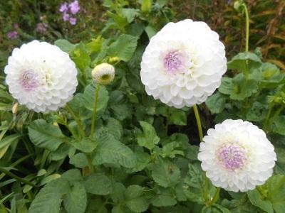 Harewood flowers 8