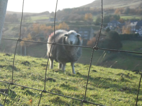 Nov sheep 1