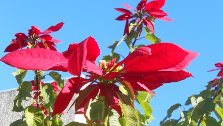 spain poinsettia tree 1