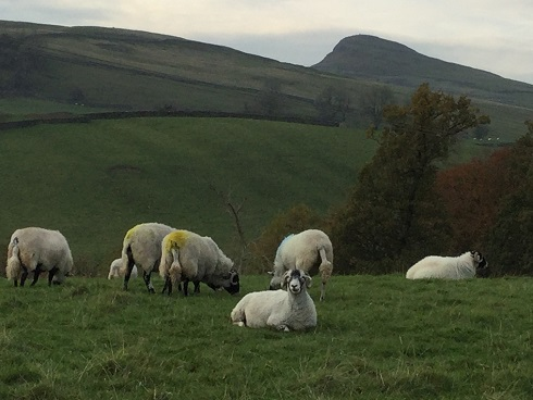 Dales sheep 1