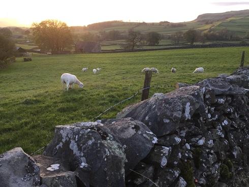 Dales sheep 2